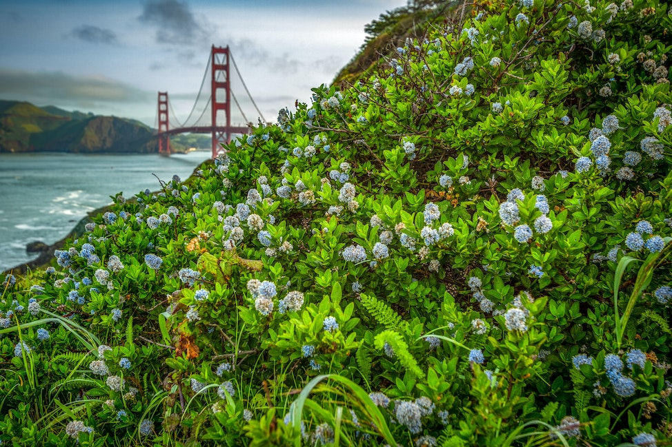 Golden Gate and Bee Clover