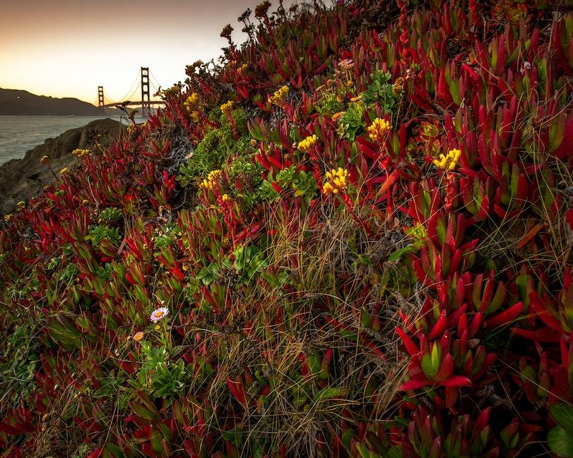 Golden Sunset, Succulents