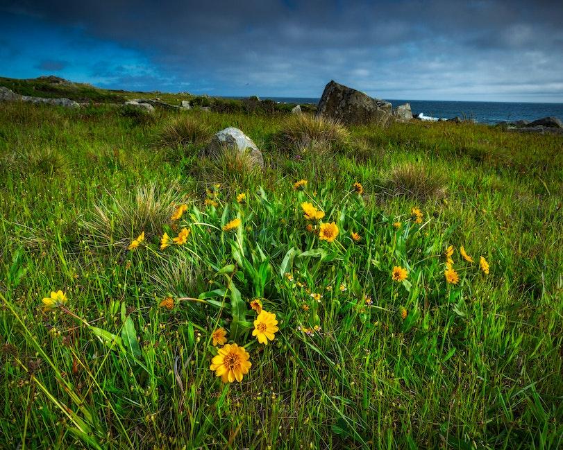 Sunflowers and Sea