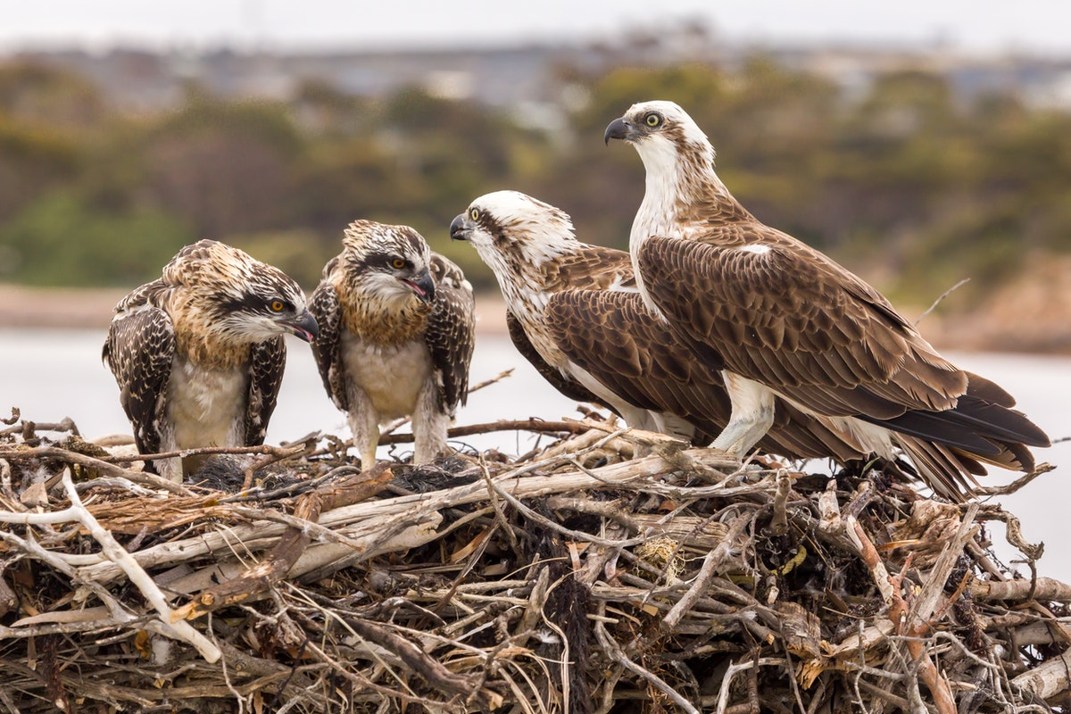 Family Group 2017 - Port Lincoln Osprey Family are growing quickly.  Dad spends little time at the nest as he is kept busy fishing for his family and when...