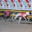 Race 8 White Ox