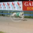 Race 9 White Ox