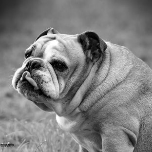 Lord Nelson |British Bulldog - Nelson the British Bulldog has a very quirky personality.  Exercise is not in his vocabulary | hence you will see him asleep...