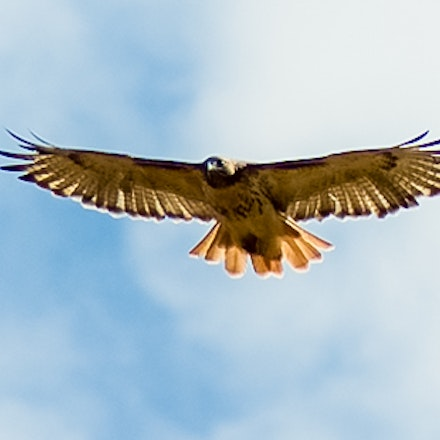 Redtail  - Ashtabula County, Redtail in flight