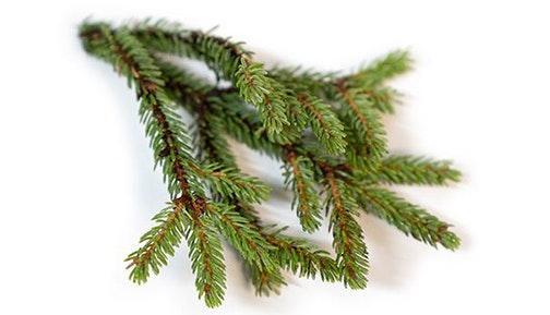 Black Spruce 1