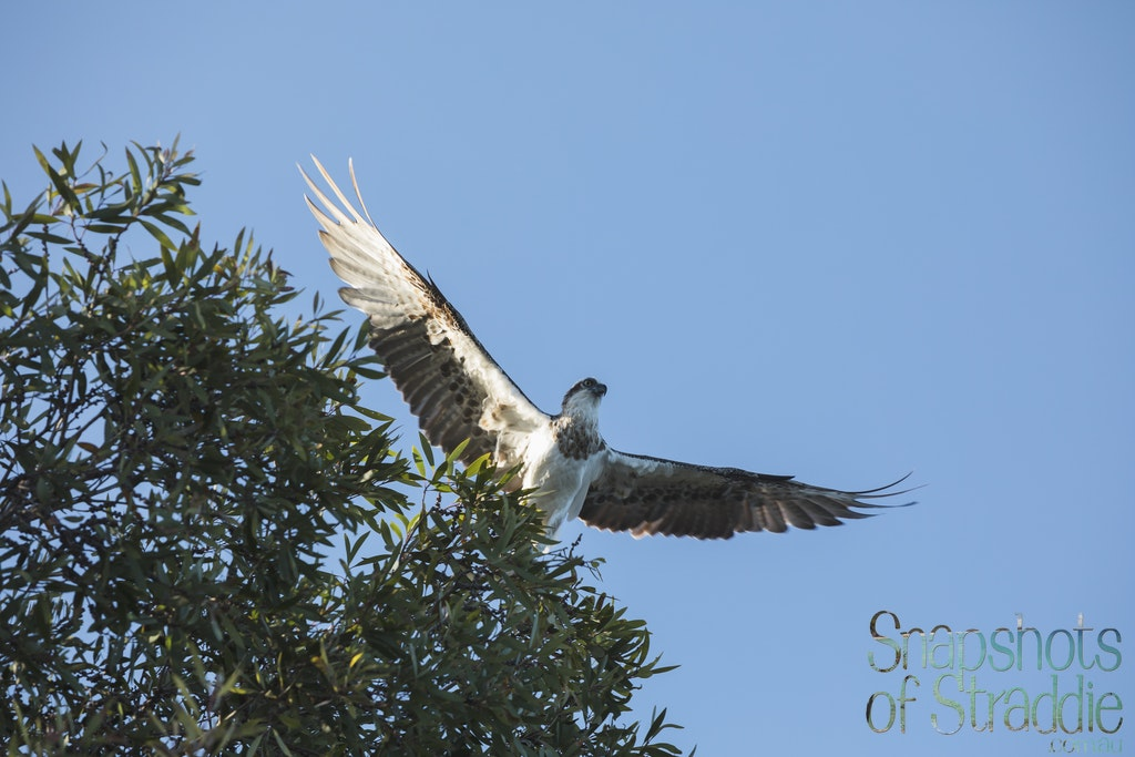 Osprey - Snapshots of Straddie. Wall Art Landscape and Seascape Photography by Julie Sisco. Photos from North Stradbroke Island, Queensland, Australia....