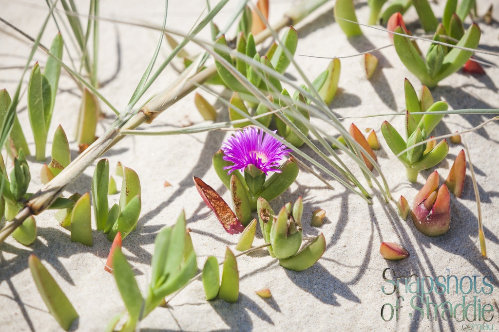 Pigface - Snapshots of Straddie. Wall Art Landscape and Seascape Photography by Julie Sisco. Photos from North Stradbroke Island, Queensland, Australia....