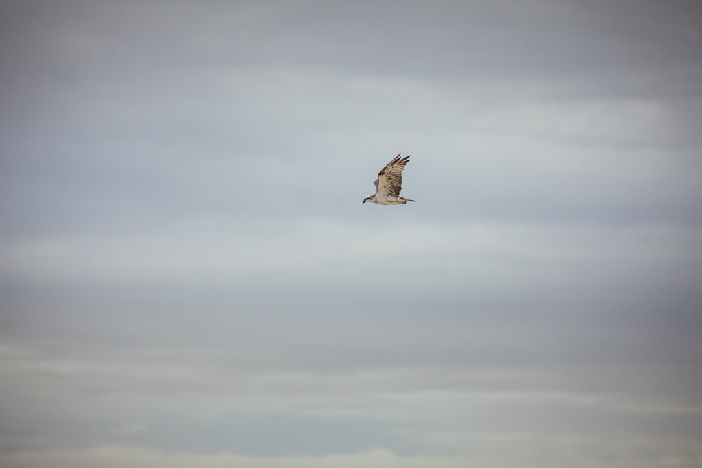 Osprey in flight - Snapshots of Straddie. Wall Art Landscape and Seascape Photography by Julie Sisco. Photos from North Stradbroke Island, Queensland,...