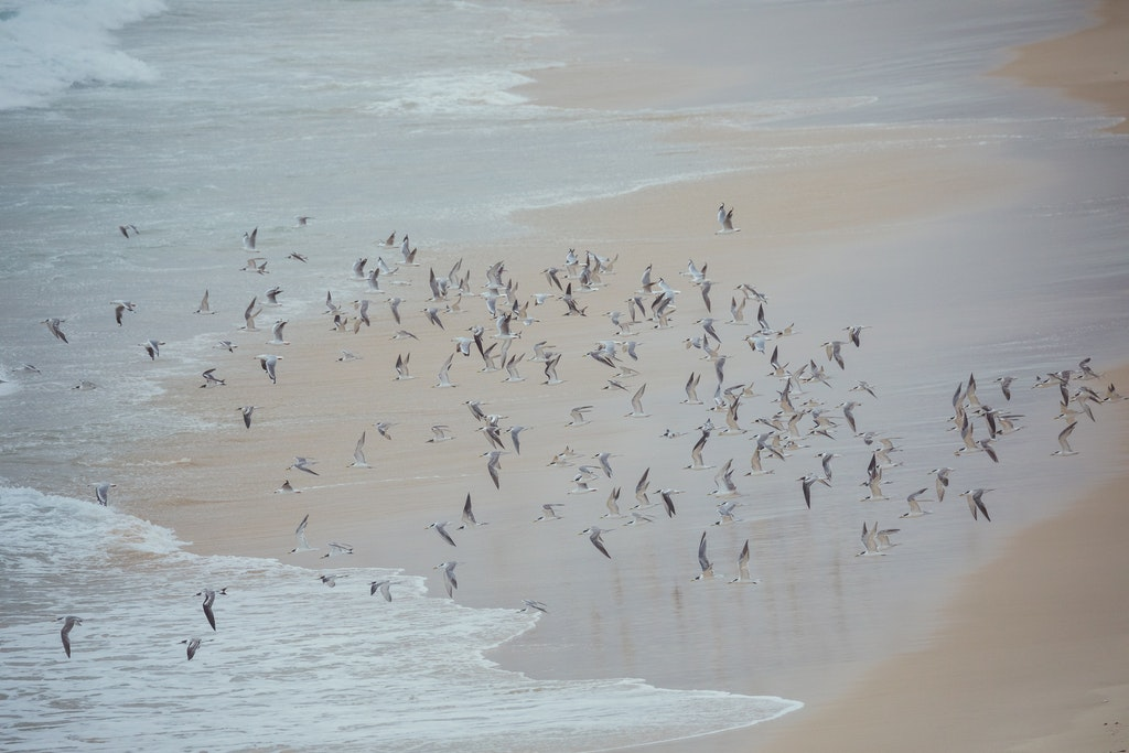 Flight of the Terns en masse - Snapshots of Straddie. Wall Art Landscape and Seascape Photography by Julie Sisco. Photos from North Stradbroke Island,...