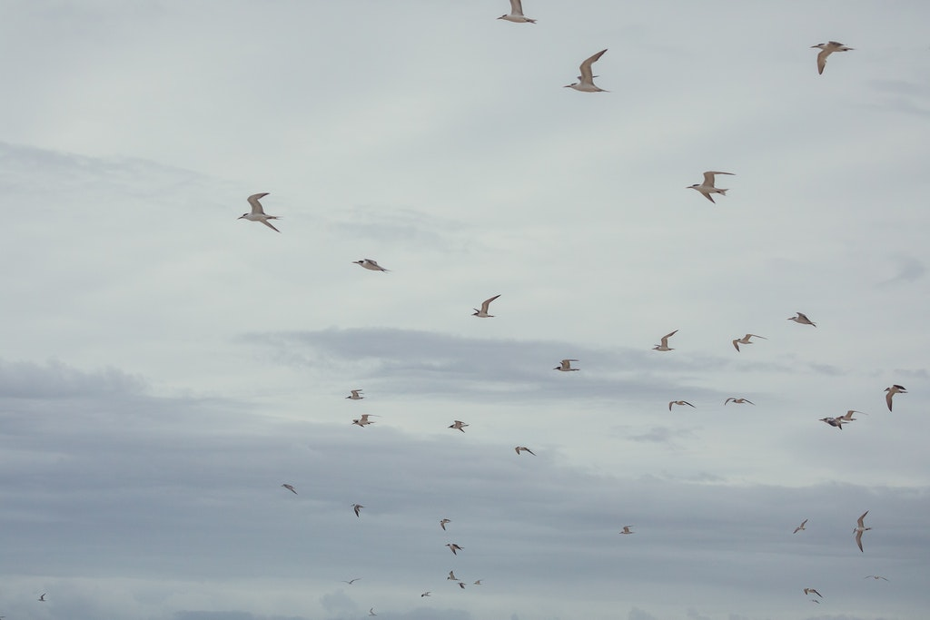 Terns in flight - Snapshots of Straddie. Wall Art Landscape and Seascape Photography by Julie Sisco. Photos from North Stradbroke Island, Queensland, Australia....