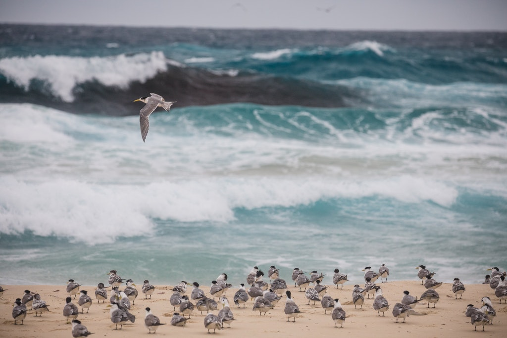 Terns on the beach - Snapshots of Straddie. Wall Art Landscape and Seascape Photography by Julie Sisco. Photos from North Stradbroke Island, Queensland,...