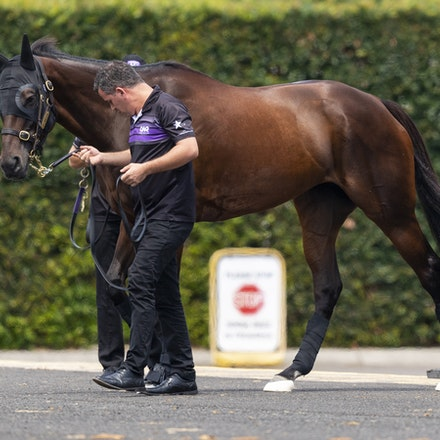 Winx-Arriving-20190302-1518 - Champion WINX arrives at Royal Randwick before the G1 Chipping Norton Stakes.  She is being led by regular strapper Umut...