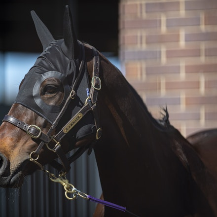 Winx-08182018-2962 - WINX arrives at Randwick before the G1 Winx Warwick Stakes.  Photo by Bronwen Healy.  The Image is Everything - Bronwen Healy Photography.