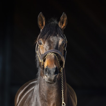 TosenStardom-08122018-0644 - TOSEN STARDOM (Deep Impact) at Woodside Park Stud.  Photo by Btronwen Healy.  The Image is Everything.