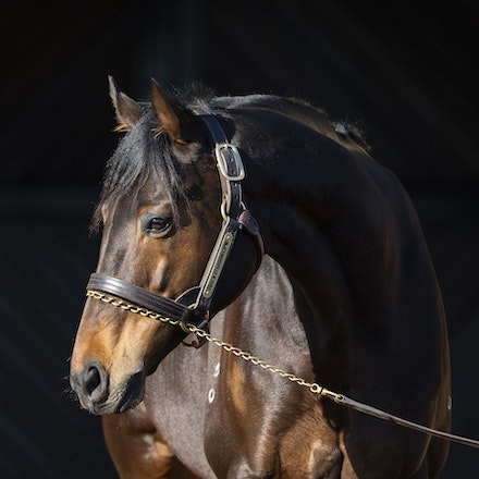 TosenStardom-08122018-0675 - TOSEN STARDOM (Deep Impact) at Woodside Park Stud.  Photo by Btronwen Healy.  The Image is Everything.