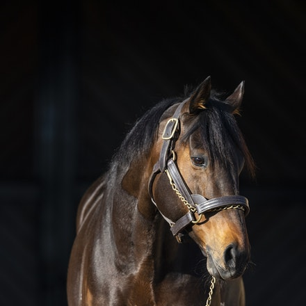 TosenStardom-08122018-0576 - TOSEN STARDOM (Deep Impact) at Woodside Park Stud.  Photo by Btronwen Healy.  The Image is Everything.