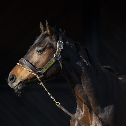 TosenStardom-08122018-0497 - TOSEN STARDOM (Deep Impact) at Woodside Park Stud.  Photo by Btronwen Healy.  The Image is Everything.