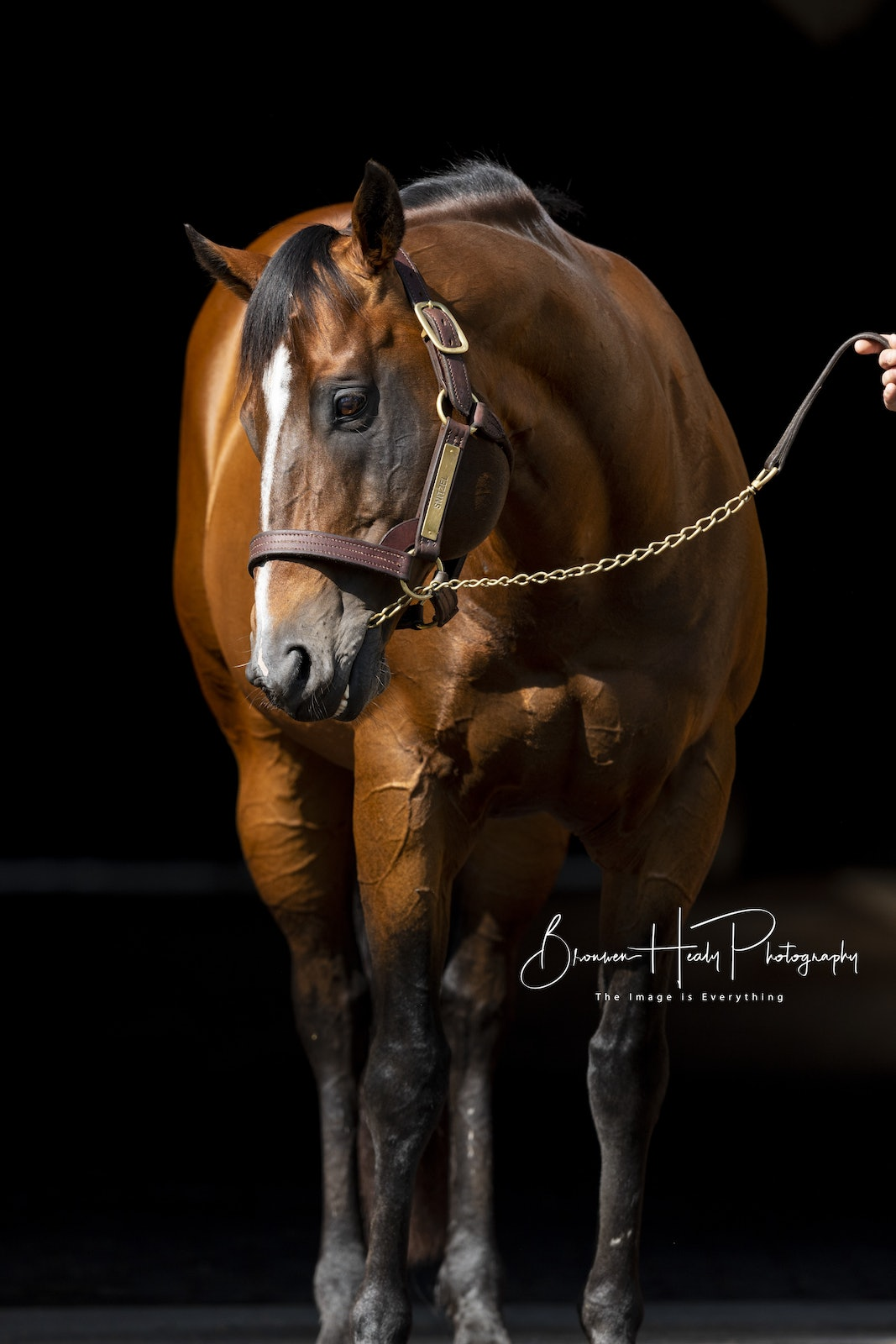 Snitzel-Headshot-09252018-4691 - Portrait of Dual Champion Sire SNITZEL (Redoute's Choice - Snippets' Lass) photographed at Arrowfield Stud.  Photo by...