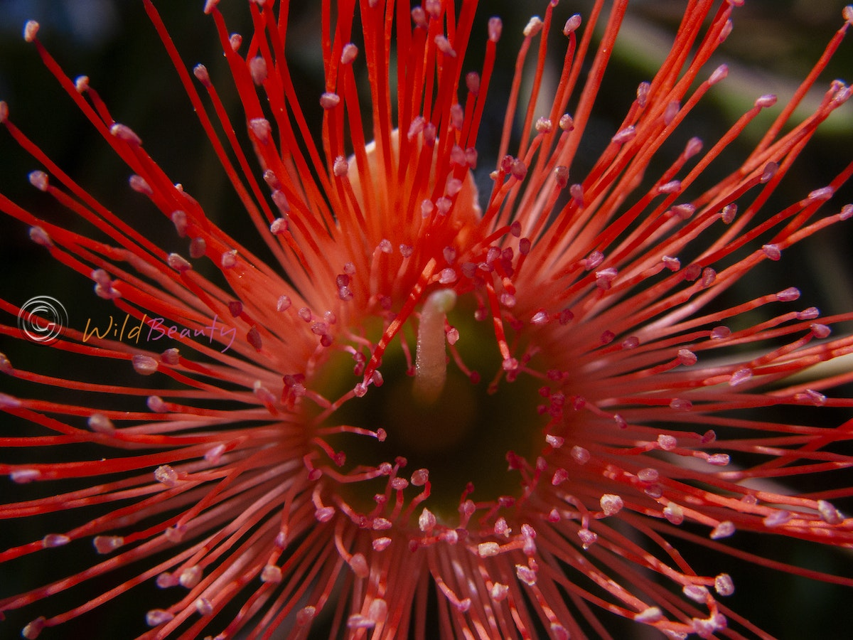 Home Page - Wildflowers of Western Australia