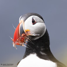 The birds of Grímsey Island, Iceland - Grímsey Island 40kms off the north coast of Iceland, home to a 100 people and, during the breeding season, one million...