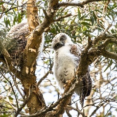 Centennial Park - A pair of powerful owls and their chicks had been spotted in Centennial Park. Sally wanted to see them.