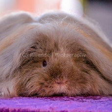 Captial Country Cavy Show 22 July