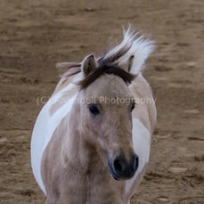 2019 IMHR National Show - Sat - Mini Pony -Liberty
