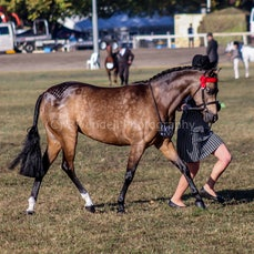 2019 Bathurst Royal- Sun- Led & Ridden Riding Pony