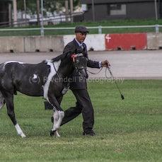 2020 Canberra Royal ( Led Australian Pony)