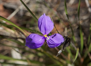 Girraween wildflower in the Granite Belt, Queensland
