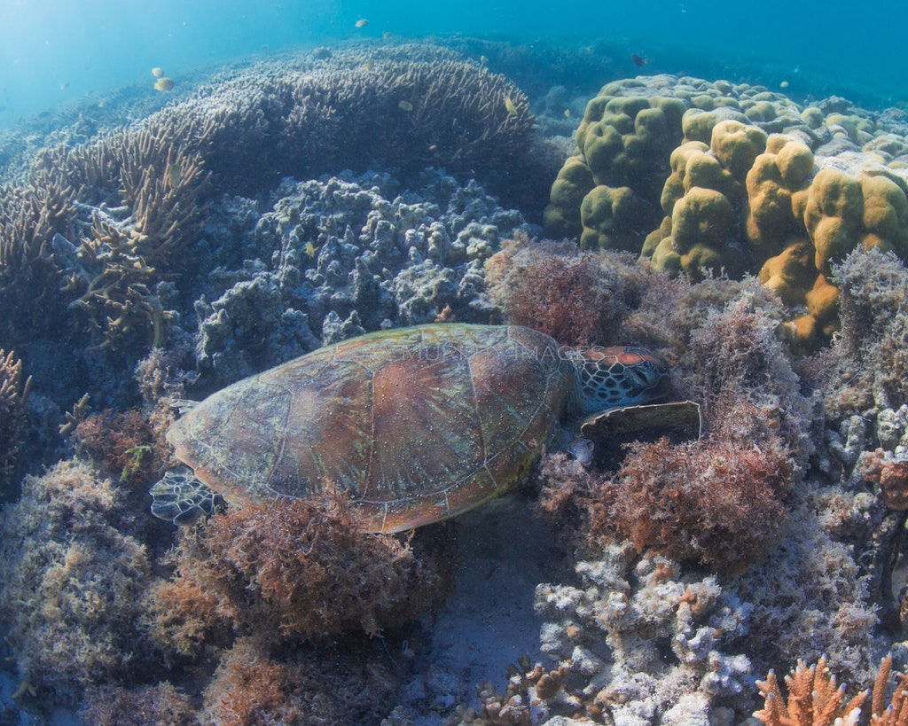 Sleepyhead - A green turtle finds a soft spot for a snooze on the reef off Heron Island.
