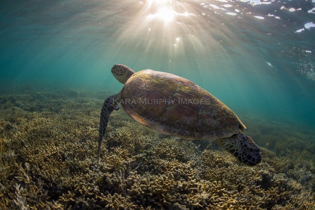 Water wanderer - A green turtle swims around the reefs off Heron Island.