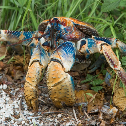 Robber crab - Robber (or coconut) crabs are among 20 species of land crabs on Christmas Island.