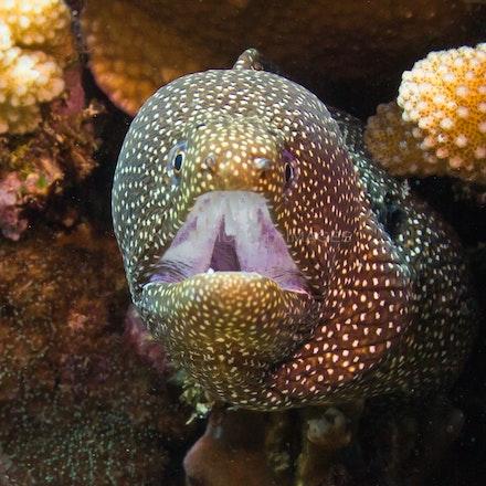 Moray eel - A moray eel, spotted on a dive on Christmas Island.