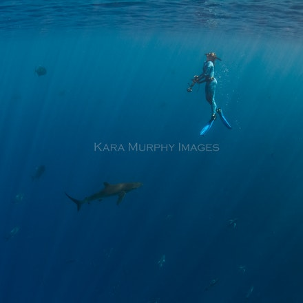 Free diver and silky shark - A free diver ascends after photographing a silky shark on Christmas Island, Australia.