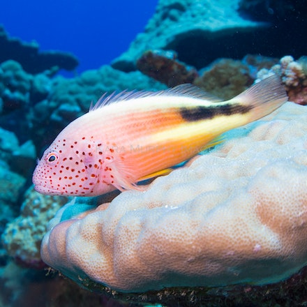 Resting fish - A fish on one of the diving sites on Christmas Island, Australia.