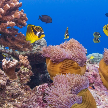 Flying Fish Cove snorkelling - Christmas Island's house reef is just offshore in Flying Fish Cove. These corals are close to the edge of the drop-off to...