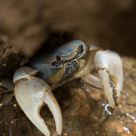 Blue crab - Blue crabs are only found on Christmas Island, Australia.
