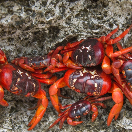 Red crabs - Red crabs can be seen all along the coast during the annual red crab migration on Christmas Island.