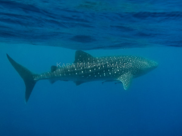 whale shark - OLYMPUS DIGITAL CAMERA