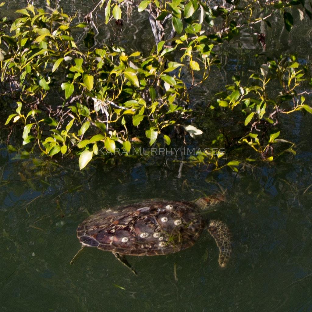 tangled turtle