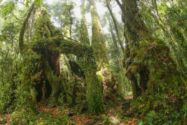 Antarctic beech trees