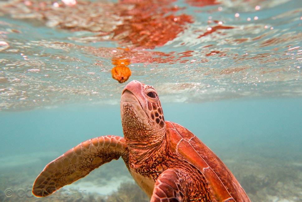 Turtle - Underwater photograph of turtle in blue clear water reaching up to eat a jelly fish. Image by Cathy Finch Photography, photography tours, photography...