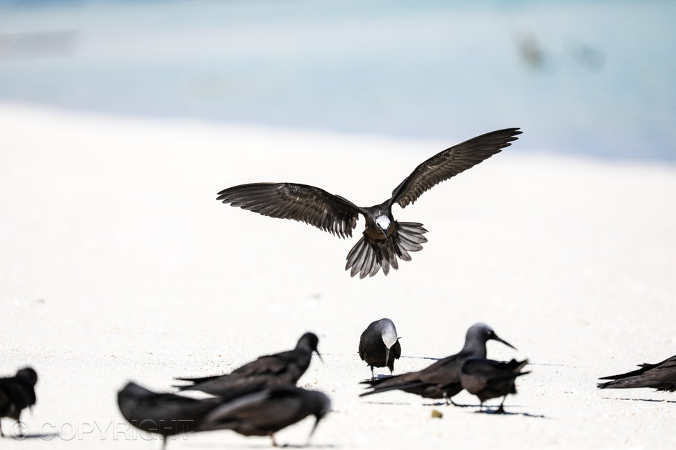 Black noddy terns - Black noddy terns on the white sand beach at North West Island, Southern Great Barrier Reef, with one noddy coming down to land, wings...