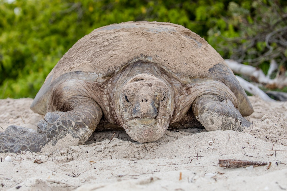 Turtle - Large mother turtle coming straight down the sandy beach to the camera after laying eggs, full frontal.  Image by Cathy Finch Photography.