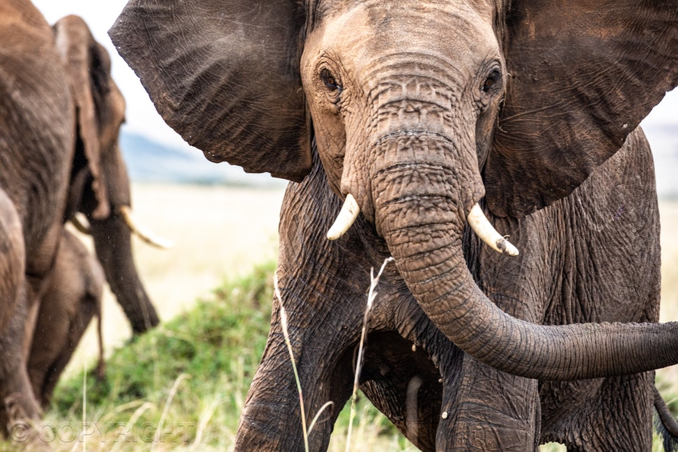Young elephant - Young elephant front on, face to camera.  Image by Cathy Finch Photography, photography tours, photography workshops.