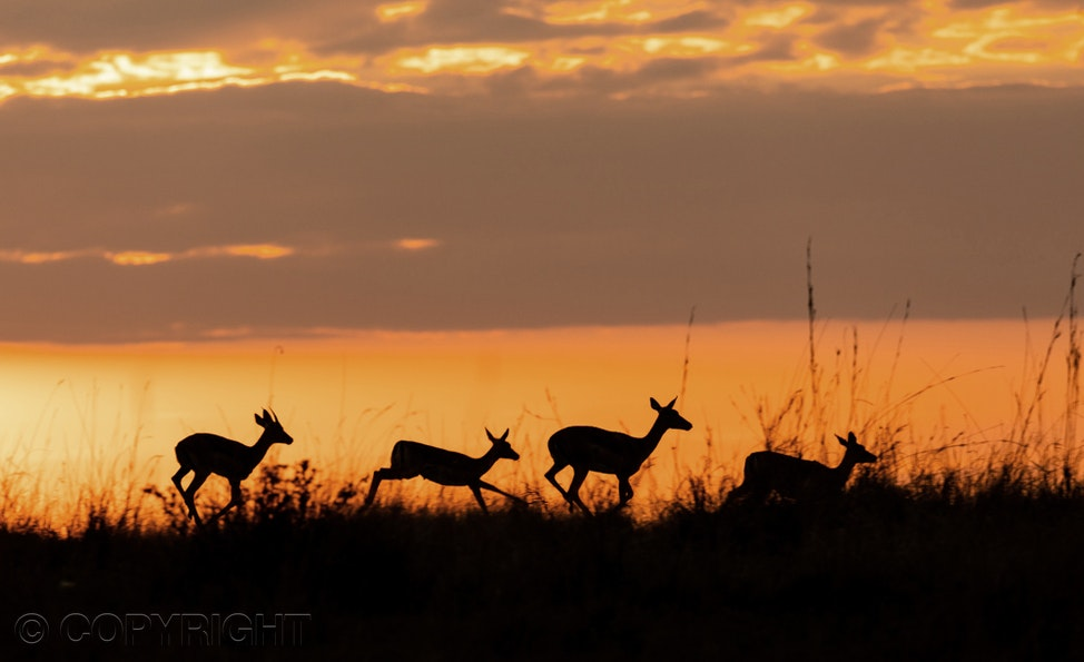 Impala Kenya - Impala running over landscape in the Mara, Kenya, Africa, silhouetted in the sunrise.  Photograph by Toowoomba photographer and Toowoomba...