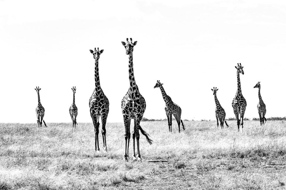 giraffe black and white - Giraffe in Kenya, Africa.  Photograph by Toowoomba photographer and Toowoomba Commercial Photographer, Cathy Finch Photography.