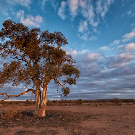 Flinders Ranges Gum tree - The afternoon glow on one of my favourite locations in the Flinders Ranges