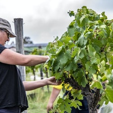 GRAPE PICKING - FRIDAY